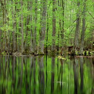 swamp-smokeys